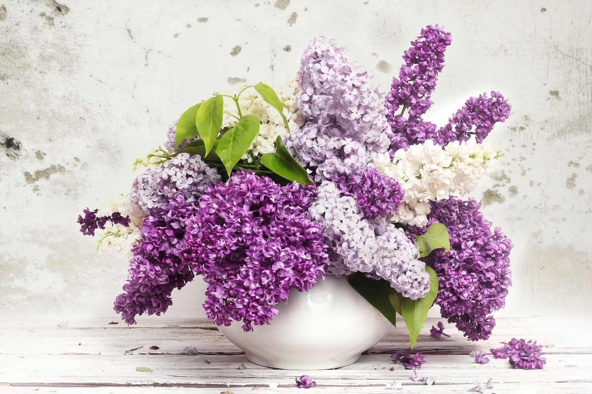 Lilac flowers draped over themselves on a table